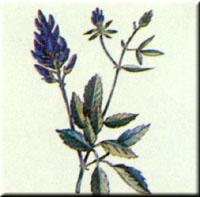 Xanthophyll