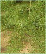 asparagus-racemosus1
