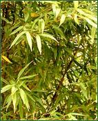 bambusa-vulgaris
