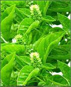 basil-herb