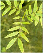 cassia-angustifolia copy