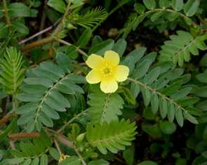 tribulus-terrestris-testo-booster-ingredient