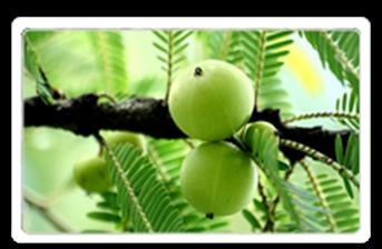 Indian gooseberry,  Emblicamyrobalan